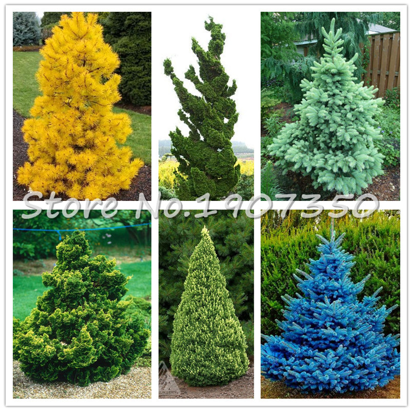 50Pcs Tree Bonsai Rare Evergreen Colorado White Spruce Bonsai PICEA PUNGENS GLAUCA Good For Growing In Pots, Flower Pot Planters