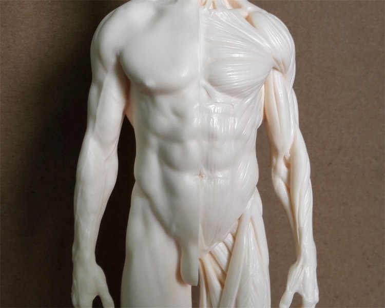 1:6 modelo de pintura anatómica de esqueleto humano de 30cm a la venta anatomía anatómica escultura de cráneo cabeza músculos dibujo artístico
