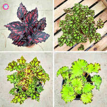 100Pcs/Bag Begonia plant, indoor bonsai flower pots, small garden Begonia, Perilla plants for home decoration.