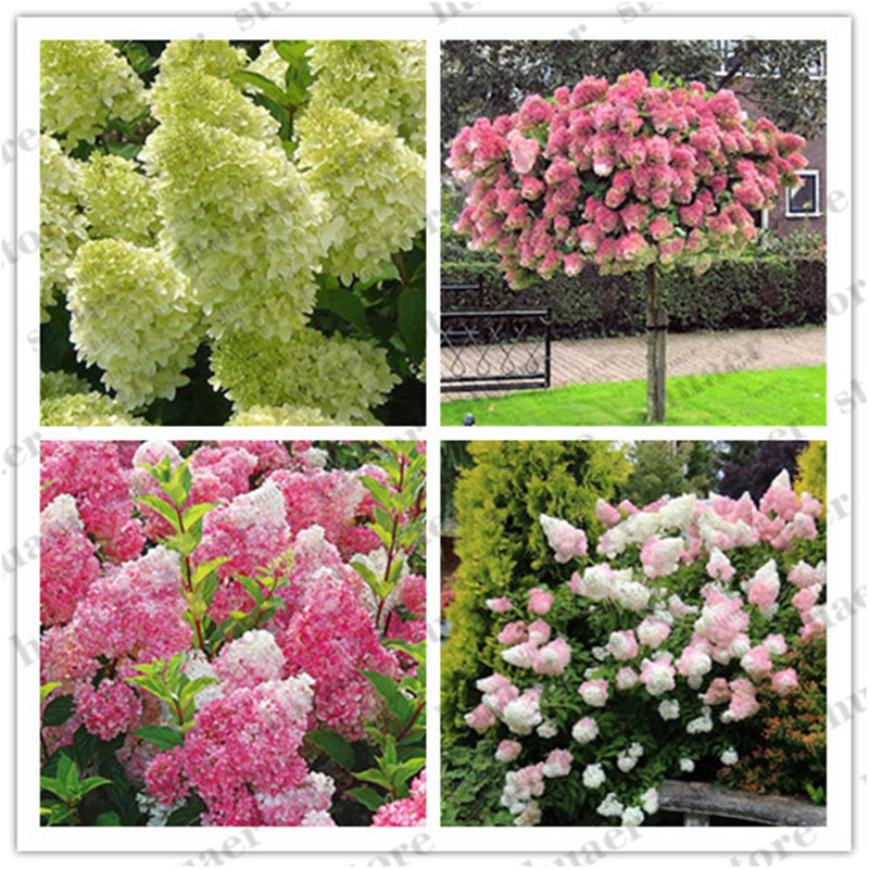 20 Pcs Bonsai Hydrangea Flower Mixed Hydrangea Flower Bonsai Indoor Bonsai Plant Flowers For Home Garden Planting