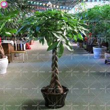 1pcs pachira macrocarpa seeds Indoor bonsai tree seeds Money tree perennial plants for home decor supplies 100% germination rate
