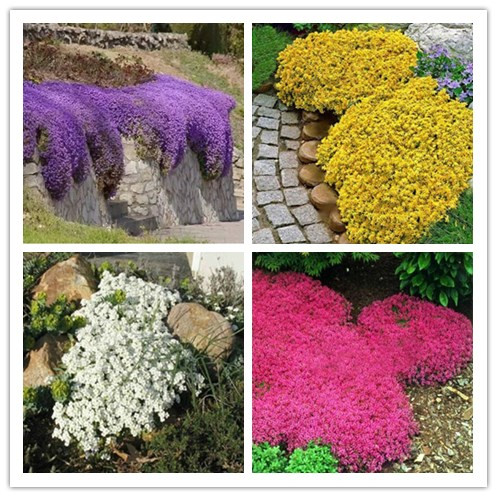 Cheap Ground Cover Online Get Cheap Ground Cover Flower Aliexpress  Alibaba Group