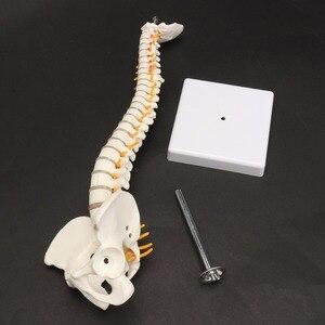 Image 3 - 45 cm Con Người Cột Sống với Vùng Chậu Mô Hình Con Người Giải Phẫu Học Giải Phẫu Cột Sống Y Tế Mô Hình cột sống cột mô hình + Đứng Fexible