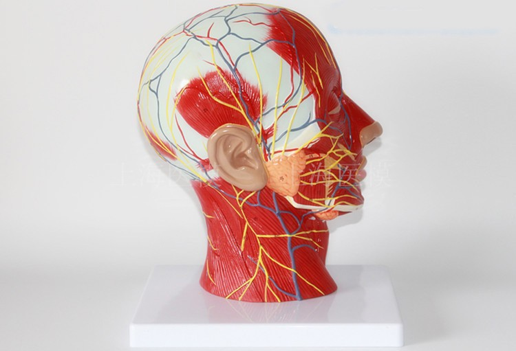 Free Shipping Head Sagittal Section Model Head And Neck Blood