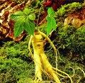 Sementes de Ginseng raiz de Ginseng chinês ervas medicinais sementes 10 sementes