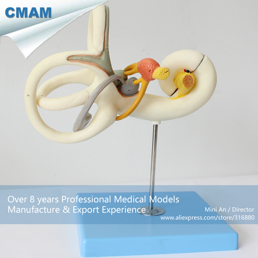 12517 CMAM-EAR02 Magnified 18x Human Inner Ear Labyrinth Anatomy Model, Medical Science Educational Teaching Anatomical Models 12400 cmam brain03 human half head cranial and autonomic nerves anatomy medical science educational teaching anatomical models