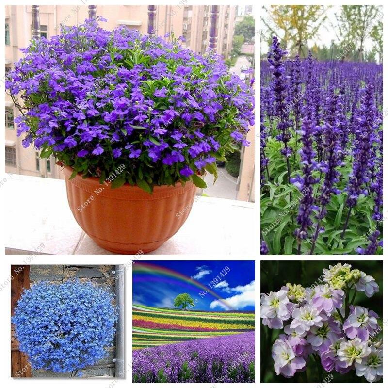 Синий лен цветок семян многолетних цветок семян четыре сезона тропический цветок декоративных растений открытый Карликовые деревья льна ... ...