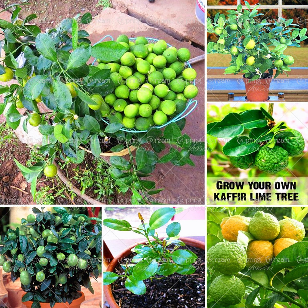 Online buy wholesale kaffir lime seeds from china kaffir for Buy lemon seeds online