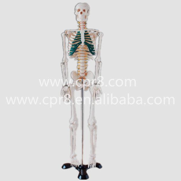 BIX-A1004 85cm Human Spinal Nerves Skeleton Model G164 bix a1005 human skeleton model with heart and vessels model 85cm wbw394