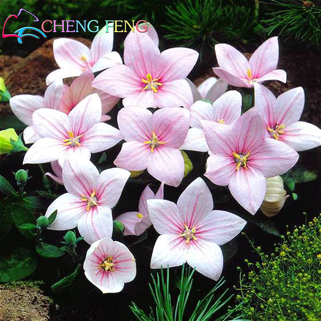 100 seeds pack balloon flower astra pink bellflower bonsai japan 100 seeds pack balloon flower astra pink bellflower bonsai japan platycodon grandiflorus rare flower seeds mightylinksfo