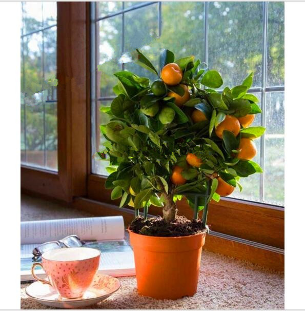 20pcs Edible Fruit Mandarin Bonsai Tree Seeds, Citrus Bonsai Mandarin Orange Seeds