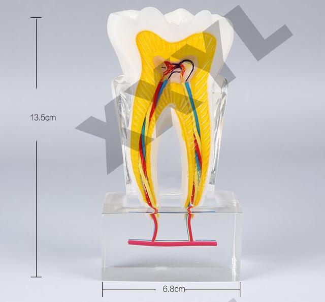 Dental Lab Dentist Endodontics Teaching Orthodontic Model 61 Teeth