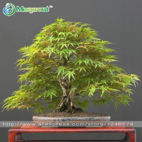 50pcs japanese bonsai maple tree seeds mini bonsai tree for indoor plant can put on office bonsai tree office table