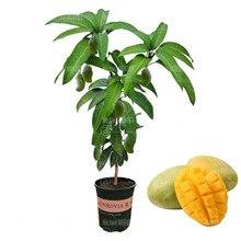 2 шт. Манго Бонсай Mangifera Indica Tree Бонсай растения Органические фрукты и овощи в горшках