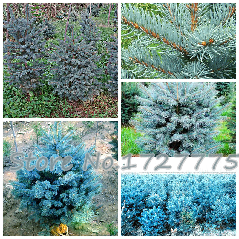 A Pack 100 Pcs Blue Spruce Seeds Picea Tree Potted Bonsai Courtyard Garden Bonsai Plant Pine Tree Seeds