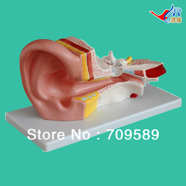 ISO Middle Ear Model, Anatomical Ear Model iso median section of head model anatomical head model