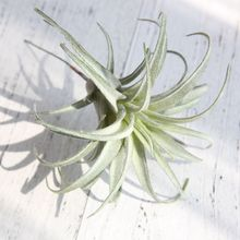 Chive Air Plants Faux Artificial Fake for Indoor Outdoor Garden and Home Decor Terrarium Decorations, Arrangements SF48401