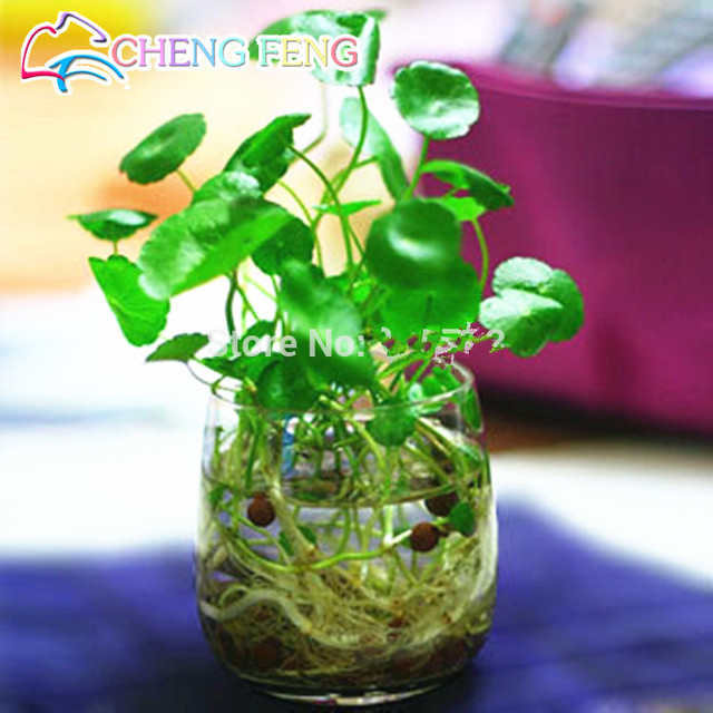 Superieur 30pcs/lot Hydroponics Flower Aquarium Grass Plants Penny Grass Seeds, Best  Indoor Bonsai Plant