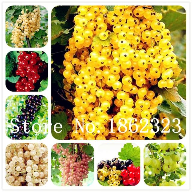100 pz Physalis peruviana Delizioso Frutto D'oro Berry bonsai Cinese In Strada d