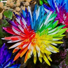 200pcs/ bag Imported Rainbow Daisy Seeds Outdoor Perennial Chrysanthemum Balcony Patio Garden Potted Bonsai Plant Easy to Grow