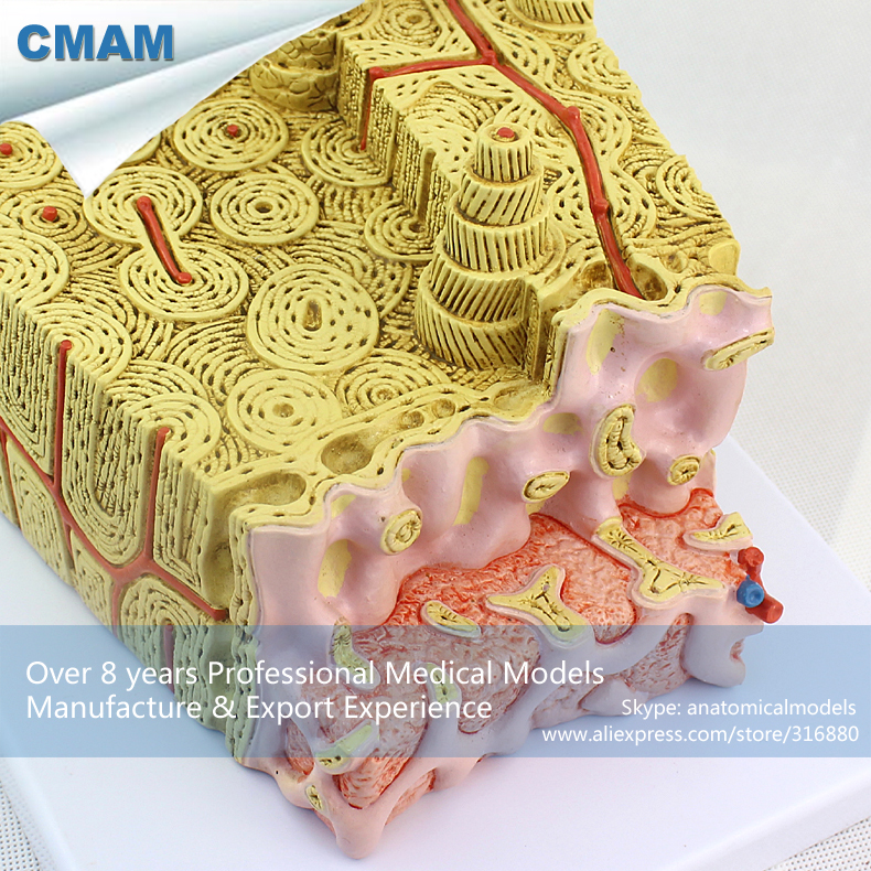 12356 CMAM JOINT09 Mikroskopische Menschliches Anatomisches Knochen ...