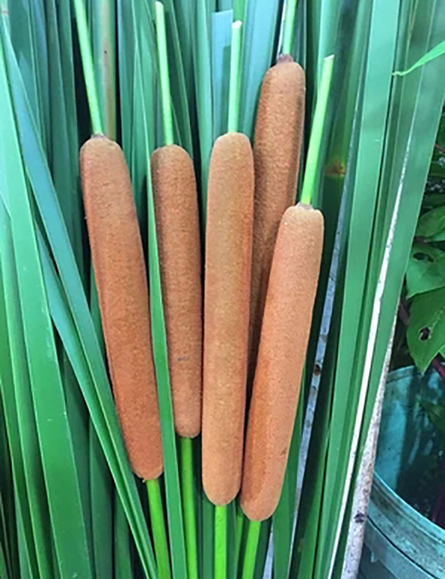 35pcs Green Dried Cattail Plant Leaves 55cm Length Real Dried Plants