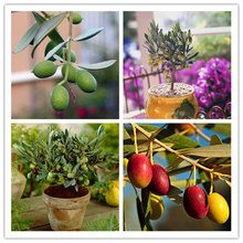 2 pcs/bag rare olive seeds peaceful Climbing plant bonsai Evergreen tree seeds potted for home garden planting