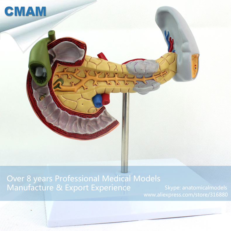 CMAM-VISCERA05 Anatomical Pathological Model of Pancreas, Duodenum and Spleen purnima sareen sundeep kumar and rakesh singh molecular and pathological characterization of slow rusting in wheat