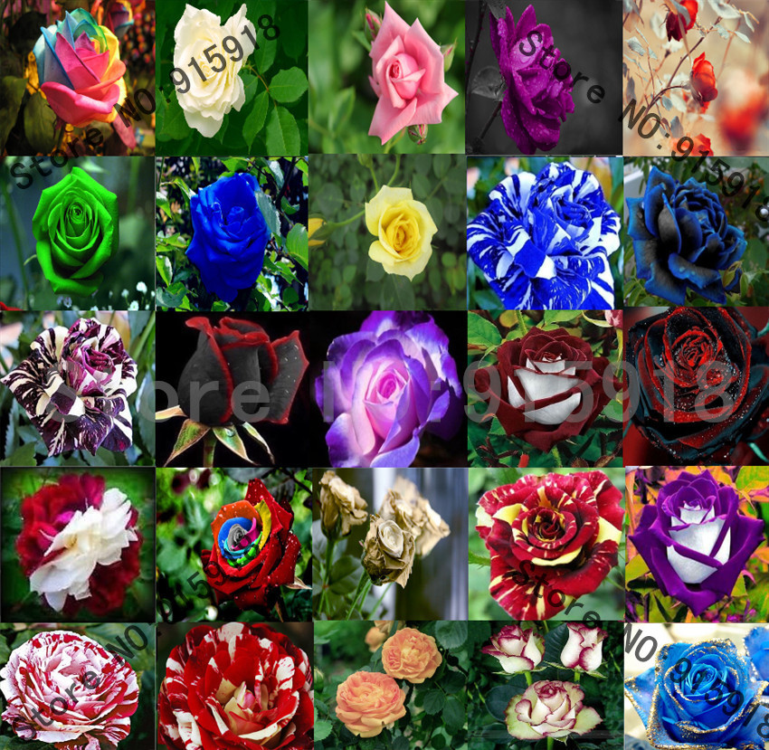 Flower rose seeds 25 kinds rose seeds rainbow etc home for Growing rainbow roses from seeds