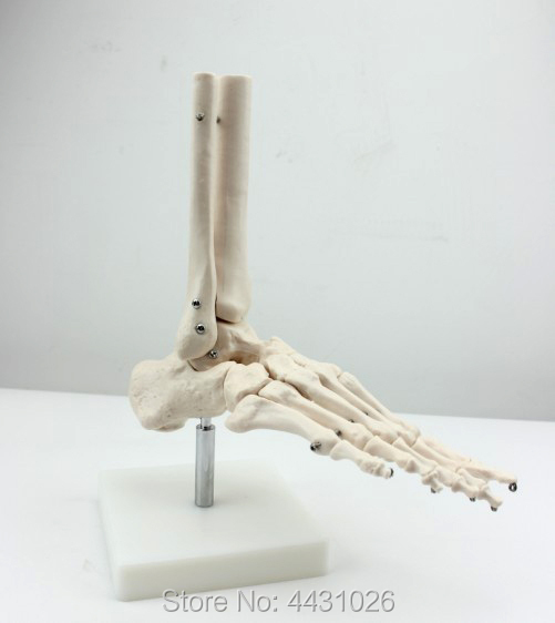 ENOVO Human body high-end medicine 1:1 human ankle model foot joint foot joint surgery life size foot joint model human skeleton model human foot