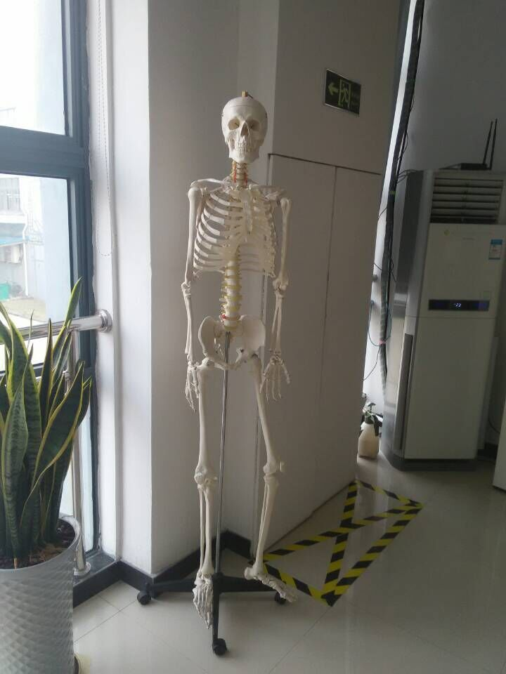 BIX-A1001 180cm Human Skeleton Model For Medical Science  W020 bix a1005 human skeleton model with heart and vessels model 85cm wbw394