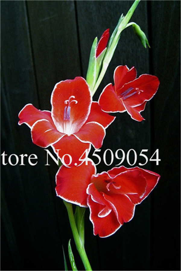 Redwing Butterfly Gladiolus