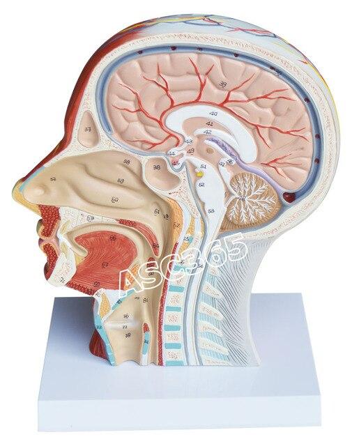 Medizinische Anatomische Modell der Hälfte Kopf Hals mit Gefäße in ...