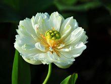 Rare Middle White Fragrant Lotus Pond Seeds,   2 Seed / Pack, Nelumbo Nucifera Flower