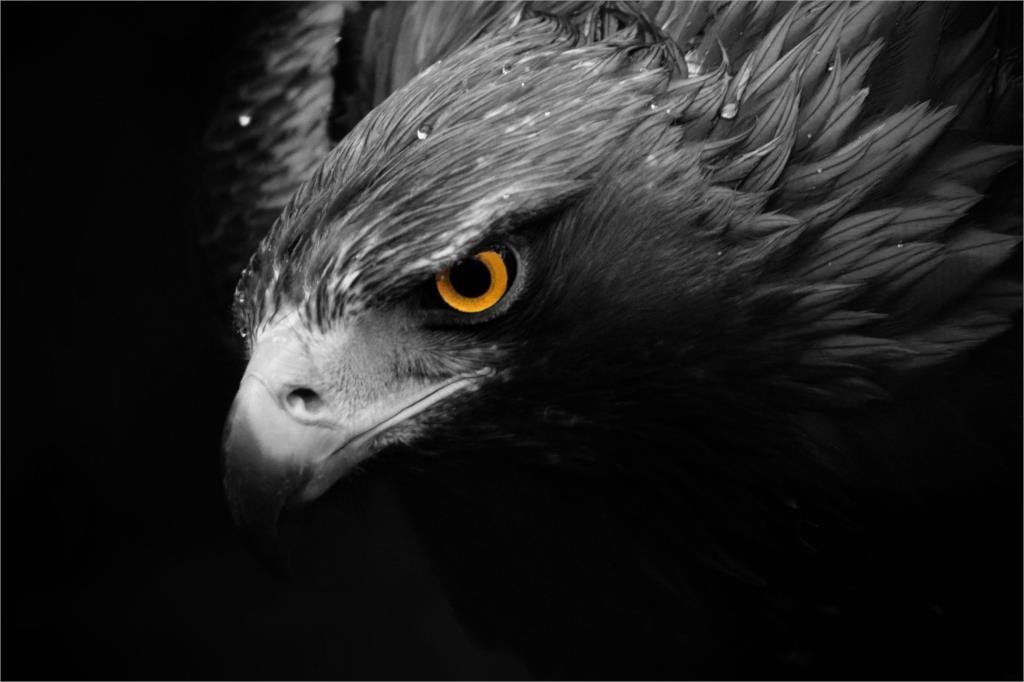 ̿̿̿(•̪ )DIY marco feroz Eagle Hawks subducción animal carteles y ...