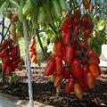 Ucrania Kibits Semillas de Tomate de la herencia, paquete profesional, 100 Semillas TS288T