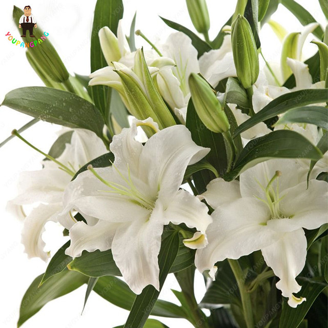 100 pz Giglio piante Fiore bonsai di Germinazione del 99% Bonsais Forniture Da Giardino Vasi Da Fiori Fioriere Profumo di Casa Coperta Decorazione Fiori