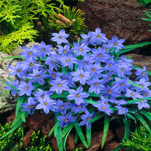 Variety Spicies Mix Rain Lily Flowering Bulbs Beautiful Bright Colors  Vigorous Garden New
