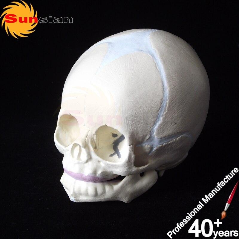 The model of newborn infant skull,Fetus Skull Skeleton Medical Model ...