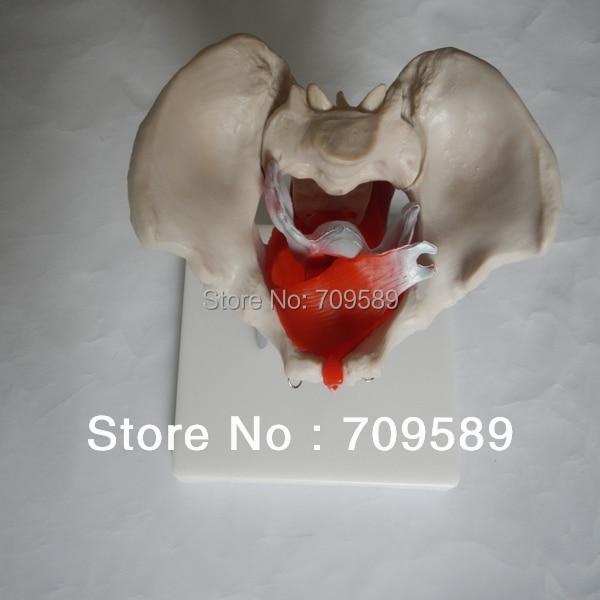 female pelvis with muscles and organs hot female pelvis model with muscles and organs anatomical female pelvis model