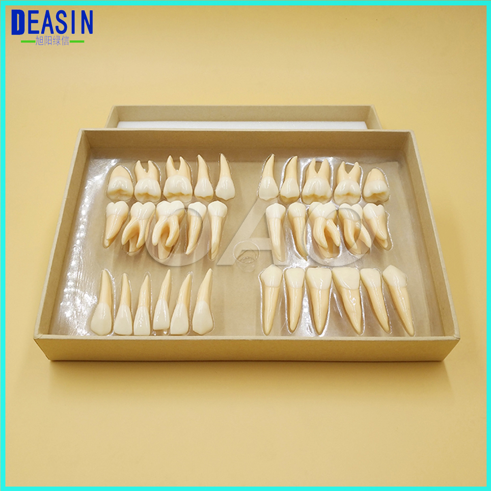 High Quality dental teeth model 2.5 times 32 pcs adult permanent dentist tooth anatomical anatomy model free shipping skull model 10 1 extraoral model dental tooth teeth dentist anatomical anatomy model odontologia