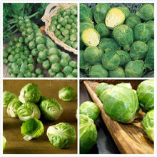 100 Long Island Improved Brussel Sprouts Seeds  Brassica Oleracea Var nutritious