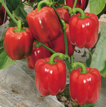 Hot Sale!100% Genuine Red Pepper Bonsai Paprika DIY Home Garden Seasons Chili Plant Terrace Potted Vegetable 120 PCS