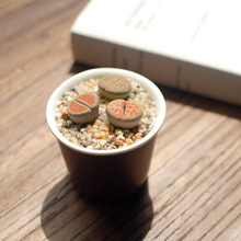 2 Lithops Pseudotruncatella Bulbs, Random Color