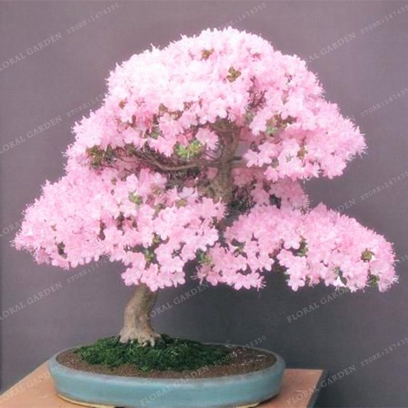 20 Inspiration Cherry Blossom Bonsai Plant Pink Wool