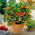 Planta de cítricos bonsái mandarina naranja bonsái Fruta comestible bonsái árbol planta comida saludable hogar jardín fácil de cultivar 30 unids