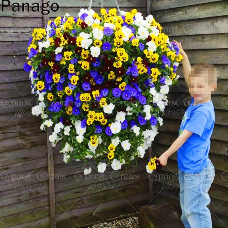 50pcs Hanging Pansy Seeds Mix color Viola tricolor bonsai flower seeds perennial outdoor pot plants decoration home garden