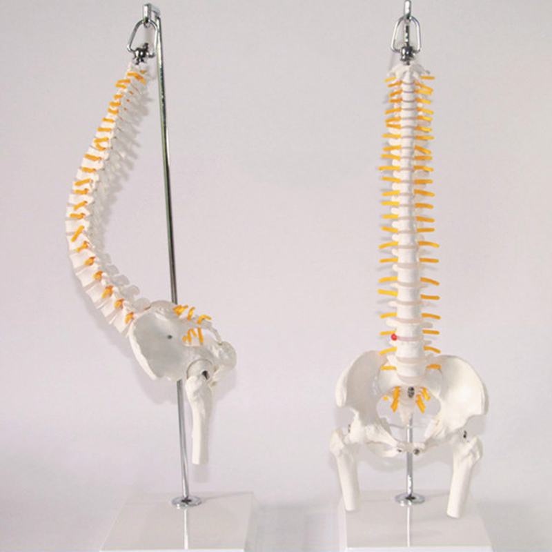 45 cm 1:1 Adulte Flexible Lombaire Coude Colonne Vertébrale Modèle Les Humains Squelette Modèle avec Discale Bassin Modèle Utilisé pour le Massage, yoga Etc.