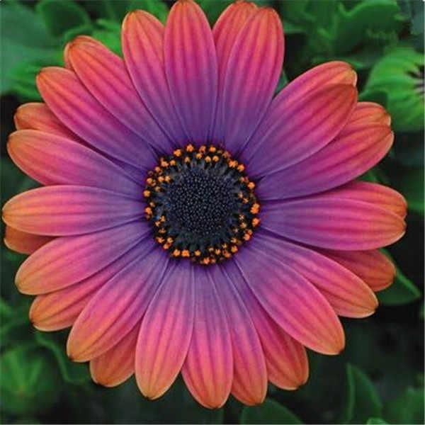 De Olhos Azuis africano Margarida planta flores Osteospermum Cabo Mix Flor planta bonsai Herança para casa e jardim 100 pcs