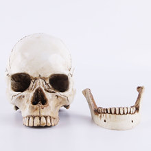 Skull Mold Medical Model Lifesize 1:1 Halloween Home Decoration Decorative Craft Skull Statue Gift non toxic pvc adult skull model 1 1 three removable tooth clinic simulation skulls cranium medical college decorative figurines